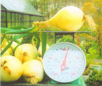 Луковица весом 1кг 800гр