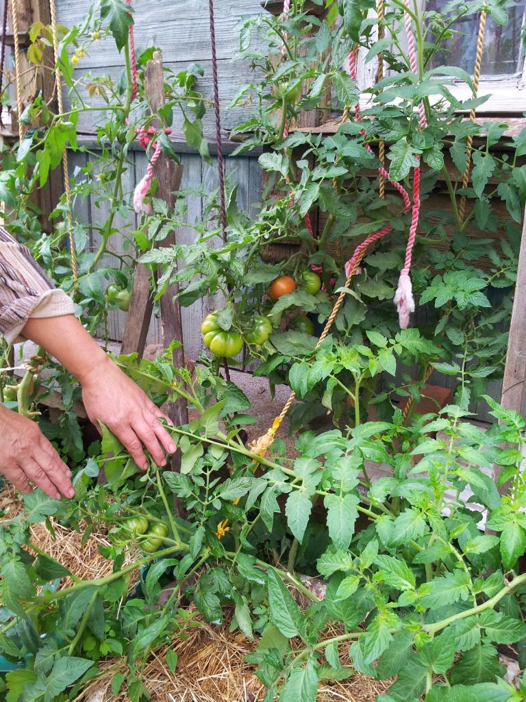 Выращивание томатов видео 36